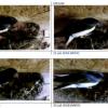 Broedpaar Boerenzwaluw verzorgt twee nesten met 9 pullen