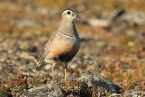 A watchful adult Eurasian dotterel on the top of a hill which had his chicks somewhere nearby.