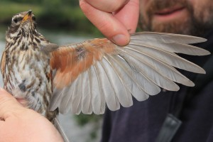 Adult Redwing with primary moult: something new for us since we only catch this species in Holland during wintertime.