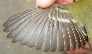Vleugel Bladkoning (tuin Lippenhuizen. 4 oktober 2015)