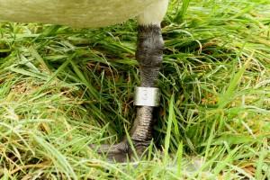 Poot van Knobbelzwaan met (eigen) ring aangelegd in aug 2008 (man-na3kj) op zelfde plek: De Veenhoop, Kanaeldyk, 4febr2016