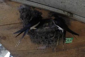 """""""echt""""paar boerenzwaluw, individueel herkenbaar aan gemarkeerde staartpennen, bij nest 10 op locatie 13 (Hemrik)"""