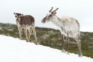 Rendieren, Zweden, 20 juli 2016