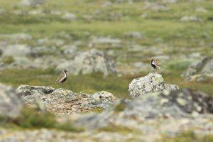 Wilsters, twee mannetjes op uitkijk in de bergen, Zweden, 20 juli 2016