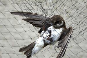 Oeverzwaluw, gevangen in mistnet..