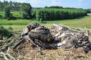 Visarend met kleurringen (oa. BC30) op nest in Lichtmast te Damerow (D), 27-06-2016