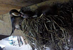 Vrouwtje bij nest 13 op locatie 13..met aan de rechterpoot herkenbare kleurringetjes..